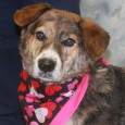 Lilly is a 7 year-old Corgi/Shepherd mix female who orginally came to Canine Lifeline in May 2017 after she was surrendered to a county dog shelter by her owners who were moving and not taking her along. Ironically, her abandonment […]