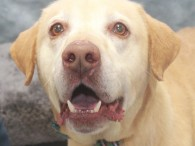 Tony is a 5 year-old Lab who came to us from a rural county dog shelter so we have no history on him. He is a typical sweet and goofy Lab who loves people and other dogs. He does know […]