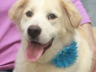 Beauty more than lives up to her name! This lovely 3-4 year-old Great Pyrenees/Border Collie (at least that's our best guess!) mix female has a pretty and very soft tan and white coat plus a very fluffy tail. She was […]