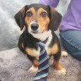Dax is a handsome 2 year-old boy who looks like the perfect mix of Beagle and Dachshund. He found himself homeless at a rural county dog shelter so made the trip to Canine Lifeline so he would be able to […]