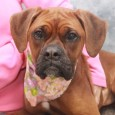 If you love Boxers, you're going to love our Boxer mix Francesca. Although she made some serious faces for the camera, this 2 year-old girl is one very happy, outgoing, and sociable dog. She found herself homeless at an overcrowded […]