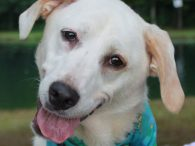 Ivory is a very friendly and outgoing 1.5 year-old Great Pyrenees/Husky mix female who's eager for a home of her very own. Although she loves to play with other dogs in her foster home, she doesn't like to share toys, […]