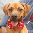 Ranger is a 2 year-old Boxer mix male who came to us as a stray from an overcrowded rural county dog shelter. We don't have any history on this boy or know for sure what his breed mix is but […]