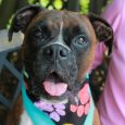 If you love Boxers, you're going to love Darla, a lovely 3 year-old girl with an impressive underbite. She was turned into an overcrowded county dog shelter by her owners who could no longer keep her. Although the owners didn't […]