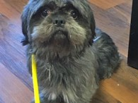 Gloria is a sweet Shih-Tzu mix spayed female who came to Canine Lifeline from a shelter in Kentucky. She was saved from euthanasia at a high-kill shelter there by a local humane society and from there made the trip to […]