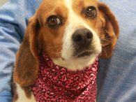 Beagle fans are going to want to meet our Babe, a 3 year-old girl who was very camera shy but is as kind and gentle as they come. This little girl was found as a stray and turned into an […]