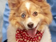 Gingersnap is a sweet and affectionate 6 year-old mini Aussie mix female who's a little on the chubby side and ready for a home where she'll get more exercise to work off those extra winter pounds. She was saved from […]
