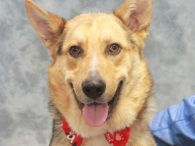 If you're looking for a big dog with a heart of gold, you will want to meet Jackson, an 11 month-old Shepherd/Aussie mix male who's just one big friendly puppy. Jackson was busted for killing chickens and was surrendered to […]