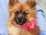 Small dog lovers are going to be head over heels for Sally, a 2 year-old Pomeranian mix girl who weighs all of about 10 pounds. This little girl came into an overcrowded county dog shelter with her pal Jacko and […]