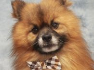 Wesley is an adorable 7 year-old Pomeranian mix male who is one the nicest dogs we've met. This little guy was found as a stray and when he wasn't reclaimed, made the trip to Canine Lifeline so he could get […]