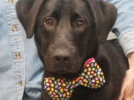 If you love Labs but are hoping to find a smaller one, you ought to meet Aidan. This 8 month-old pup with the bobtail is a Lab mix but he only weighs about 30 pounds so is a great size […]
