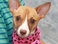 Bella is a beautiful little 4 year-old Chihuahua mix girl who was found as a stray with her pal Rico. Both dogs were picked up and taken to the local shelter but were not claimed so made the trip to […]