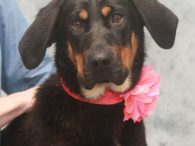 Belle is a fun-loving, very entertaining 1 year-old Basset Hound mix female who's ready to shower her new family with lots of love. In spite of having short legs, Belle is a big, solid girl at about 50 pounds! This […]