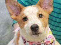 If you love Cattledogs and are looking for one who will be stay on the small side at about 25-30 pounds, Blue just might be your girl. This sweet but active 4 month-old pup was adopted from a shelter at […]