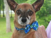 Ducky is a bright-eyed and alert Chihuahua mix male who counts his lucky stars everyday. This little guy who's estimated to be about 10 years-old came into a county dog shelter as an emaciated stray. He clearly wouldn't have been […]