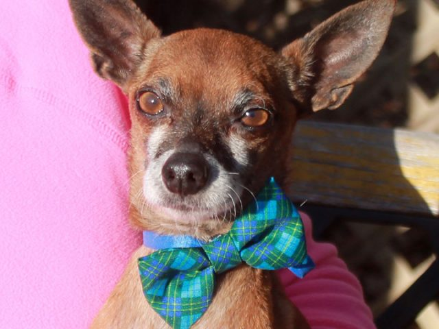 Ducky is a bright-eyed and alert 10 year-old Chihuahua mix male who counts his lucky stars everyday. This little guy came into a county dog shelter as an emaciated stray. He clearly wouldn't have been able to survive much longer […]