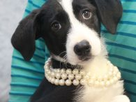 What a great puppy and doesn't she look fabulous in pearls!?! Mellie is a 10 week-old Border Collie/Beagle mix female who was found as a stray all by herself and taken to a local shelter. No one claimed her so […]