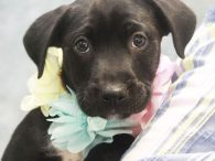 Rainbow is a 9 week old Lab mix puppy who was born on March 28, two days after her mom Libby arrived at Canine Lifeline from a county dog shelter. Libby took great care of her pups and Rainbow, who […]