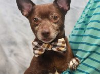 If you're looking for a little guy who loves to snuggle and is over the puppy crazies, you'll want to take a look at Rico. This sweet 4 year-old Chihuahua mix male was surrendered to an overcrowded county dog shelter […]