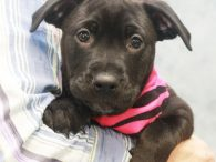 Riley is a 9 week old Lab mix puppy who was born on March 28, two days after her mom Libby arrived at Canine Lifeline from a county dog shelter. Libby took great care of her pups and Riley, who […]