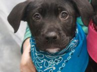 Rookie is a 9 week old Lab mix puppy who was born on March 28, two days after his mom Libby arrived at Canine Lifeline from a county dog shelter. Libby took great care of her pups and Rookie, who […]