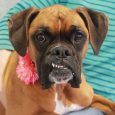 Sasha is a beautiful 3 year-old Boxer with a great underbite and the silliest expressions. She was surrendered to an overcrowded county dog shelter in Kentucky by her owner after the neighbor threatened to shoot her (yes, sadly this is […]