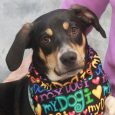 Sebastian is a very cute 11 month-old Doxie mix male who's mixed with something a bit bigger as he weighs about 28 pounds. This sweet boy came to us from a county dog shelter so we have no history on […]