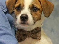 Spot is a sweet little 9 month-old Jack Russell Terrier mix male who is cute as a button with his little bobtail. This little guy was surrendered to an overcrowded county dog shelter by his family who could no longer […]