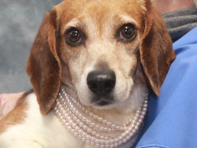 If you love Beagles, you're going to be head over heels for Sugar, a sweet and affectionate 3 year-old girl. She had the double misfortune of being homeless at a county dog shelter AND testing positive for heartworms there making […]