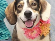 Valerie is a fun-loving 2 year-old Basset Hound mix female who not only has a great disposition but is beyond cute too. She has the most beautiful markings and those big Basset feet and short legs are especially charming. Valerie […]