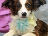 Buttons is an adorable 4 month-old girl who came to us from a county dog shelter along with her brother Bingo. We don't have any history on these pups but it's likely that someone's dog had a litter and they […]
