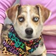 If you're looking for a dog with a one of a kind, unique look, you'll want to meet Kirby. This friendly and outgoing 1 year-old Aussie/Catahoula mix male has gorgeous markings, one blue eye and one eye that's half blue […]