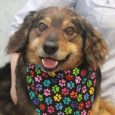 Meet Laddie, an exceptionally nice 4 year-old Spaniel/Collie mix male. We don't know what circumstances led to Laddie becoming homeless and waiting for a second chance at an overcrowded rural county dog shelter but that was his plight. He went […]
