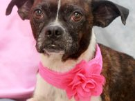 Misty is a sweet and loving 2 year-old Boston Terrier mix female who looks to have had a rough life but thanks to a good Samaritan, her luck has changed and she now has a bright future ahead of her. […]