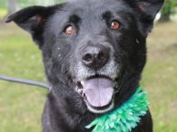 Pippa is a lovely 6 year-old Lab/Chow mix female who came into a rural county dog shelter as a stray and from there, made the trip to Canine Lifeline so she could take her time finding the perfect new home. […]