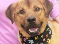 This handsome boy with the cute puppy face is 1 year-old Quincy. We don't know what breed mix he is but there might be some Shepherd, Lab, Chow, Rottie in his family tree. Your guess is as good as ours! […]