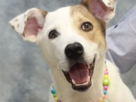 What a smile! Reagan is a gorgeous 11 month-old pup whose breed mix is really anyone's guess. The shelter that she came from called her a Jack Russell Terrier mix but there's definitely a bigger breed in the mix as […]