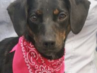 Sandy is a bright-eyed and alert 2.5 year-old Doxie/Beagle mix female with maybe a bit of Min Pin in her family tree. She came to us from an overcrowded county dog shelter so we have no history on her previous […]
