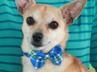 Timmy is a sweet and lovable 4 year-old Chihuahua male who came to Canine Lifeline along with his sister Holly after their human mom lost her home and was no longer able to keep her dogs. Fortunately, a friend reached […]