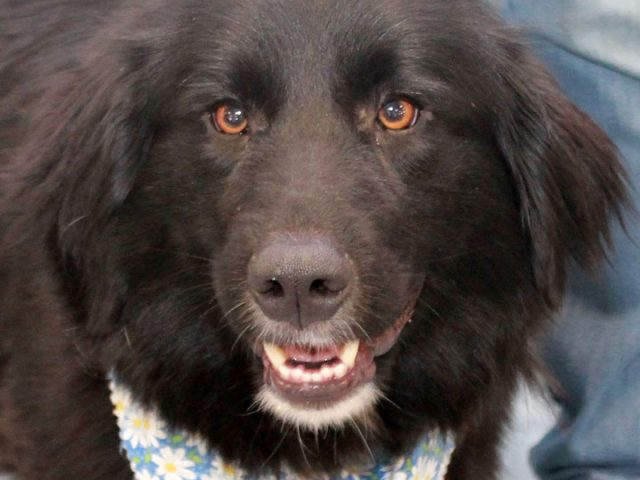 This lovely girl is BeeBee a 2 year-old Retriever mix girl who looks a little bit like a mini-Newfoundland. After she was abandoned at a boarding kennel, she was taken to the local shelter where it was discovered that she […]