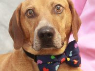Chester is a kind and gentle but camera-shy 2 year-old Mountain Cur/Hound mix male with a cute bobtail who found himself homeless at a local county dog shelter and, on top of that, tested positive for heartworms there making it […]