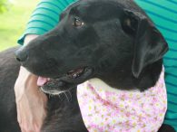 Daphne is a painfully shy 1 year-old Lab mix female who came to us along with her mom Tory and brothers Tag and Dutch. Their world was completely upended when they were all surrendered to a county dog shelter by […]