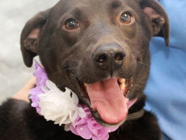 This sweet lady is Gwen, a 3-4 year-old Black Lab mix female whose future was looking grim when she came into a rural county dog shelter in late March and tested positive for heartworms there. She was on the euthanasia […]