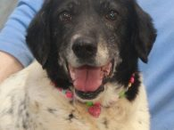 You're not going to find a sweeter dog than Mandy, our wonderful 8 year-old Border Collie/Spaniel mix female. In spite of the fact that this girl surely had a very rough life before ending up at a county dog shelter, […]