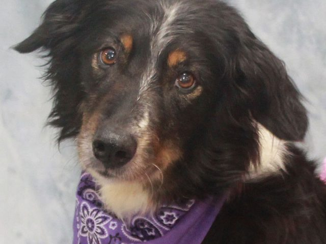 Shelby is a very kind and gentle girl who really tugs at your heartstrings. This beautiful 6 year-old Aussie was a heartworm-positive stray with no future at a high-kill county dog shelter. We were notified about her plight and immediately […]