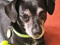 Corbin is an absolutely delightful 5 year-old Chihuahua mix neutered male who charms everyone he meets. This little guy was adopted from us in Jan 2017 but recently returned as his family is facing some serious health issues and is […]