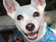 Anyone who thinks a 9 year-old Jack Russell Terrier is over the hill or ready for the rocking chair has to meet our Daisy Mae. This bright-eyed and alert pint-sized dynamo is here to prove that age is merely a […]