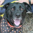 It may not be the time of year for a New Year's Resolution but that's not stopping Garrett. This wonderful 6 year-old Lab mix male was adopted from us four years ago and recently returned because his family could no […]