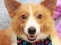 Laredo is a wonderful 2-3 year-old Sheltie/Cattledog mix neutered male with a fantastic disposition. We don't have any history on this sweet dog as he came into a county dog shelter and from there was transferred to a neighboring humane […]