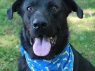 Zeus is a very handsome and outgoing 2.5 year-old Black Lab mix male. He originally came to us in March 2017 from a rural county dog shelter and was adopted a few months later. He was in his new home […]